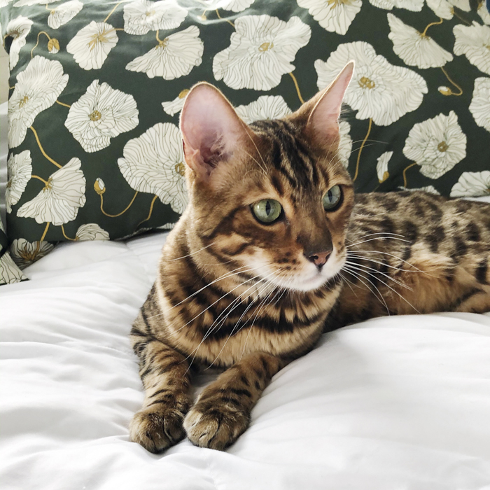 Oliver the Bengal